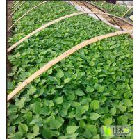 北京金辉颗源红薯苗今年已完成预定1580000株