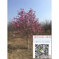 2018年湖北地径15公分紫玉兰价格多少钱一棵盆栽花卉基地