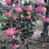 红富士苹果苗水养