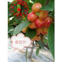 泰安瑞康苗木供应矮化雷尼尔矮化樱桃树苗