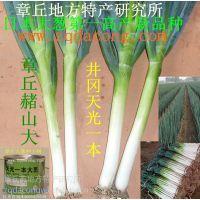日本铁杆大葱种子 高产新品种井冈一本 晚抽 长宝冬越钢葱种子 日本大葱种子