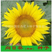 向日葵种子#单瓣 观赏向日葵 插花向日葵 向日葵鲜切花