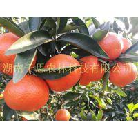 正宗的美国糖橘苗 适合四川湖北地区种植