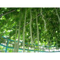 批发日本特长蛇豆种子 盆栽蔬菜 蛇瓜种子 春夏季爬藤庭院蔬菜种子