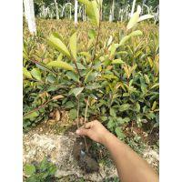 60公分石楠苗价格,一级石楠苗供应价格,精品50公分红叶石楠苗、红叶石楠树价格