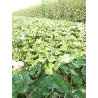 甜宝草莓苗优质品种 草莓苗订购优惠价格