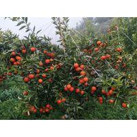 世纪红柑橘多少钱一斤 哪里的苗木纯正干净