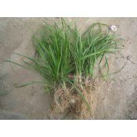 北京丹麦草基地低价出售丹麦草,批发麦冬草,送货上门