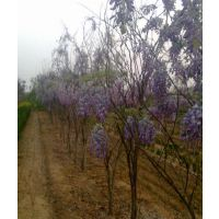 紫藤价格哪里便宜 当然是江苏紫藤基地报价靠谱