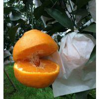 供应晚熟杂柑优质品种四川眉山春见苗耙耙柑苗30-80cm高