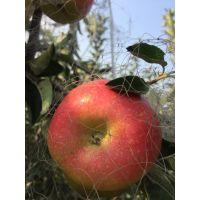 山东鲁丽苹果树苗基地 1公分早熟苹果嫁接树苗 2公分苹果成苗价格