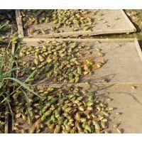 青蛙养殖种苗基地#黑斑蛙养殖基地#种苗供应 蝌蚪 成蛙