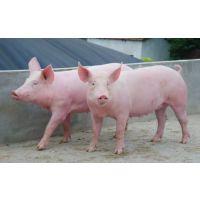 美国PIC优质大白L01母猪最早引入中国梅山猪基因成功的典范