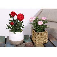 武汉同城鲜花市场供应玫瑰小盆栽,小玫瑰月季组合盆景送货上门