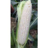 超甜玉米种子糖度20度可以生吃的水果玉米