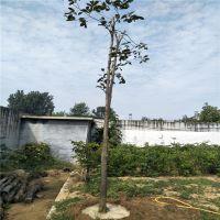 4公分牛心柿子树苗 地径4公分柿子苗
