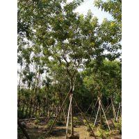 贵州黄花槐优质苗木,贵州黄花槐移栽苗