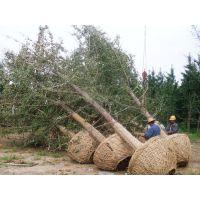 优质30公分银杏树苗价格胸径30公分实生银杏一级好树形