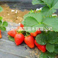 章姬草莓苗价格 章姬草莓苗 现挖现卖质优价廉