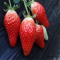甜宝草莓苗脱毒 甜宝草莓苗产量如何 甜宝草莓亩产是多少