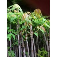 红油香椿苗 矮化香椿苗 5公分以上香椿苗