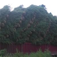 四季常青绿化苗30公分塔柏价格