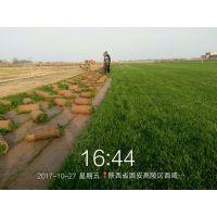 供应冬季绿化专用优质混播草坪
