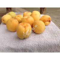 梧州杏子嫁接苗制造商 优质杏子嫁接苗存活率高