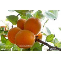 陕西果蔬供应商常年供应时令瓜果陕西金太阳杏产地批发价格