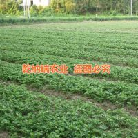 乾纳瑞农业科技、漳州法兰地草莓苗、法兰地草莓苗栽培