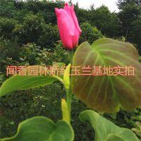 娇红一号销售基地 1米5 娇红玉兰小苗价格江苏闻香园林