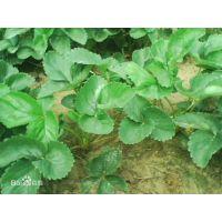 法兰地草莓苗全国发售 山东法兰地草莓基地 品种纯正行情价格