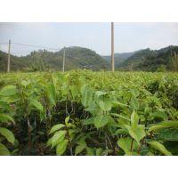 广西藤县红花大果油茶嫁接苗价格及规格分类图片