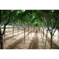 江苏樱花6-7-8公分樱花种植地批发价格