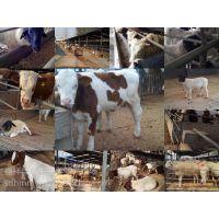 肉牛养殖肉牛育肥巧办法
