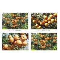 江西南北方合作社挂果早提早上市金果梨种苗农业项目
