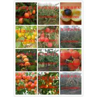 矮化甜杏苗多少钱一颗 矮化甜杏苗品种特点鲜食兼仁用品种离核
