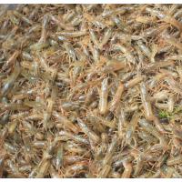 山东龙虾苗批发 山东龙虾种苗养殖基地 今日龙虾苗价格