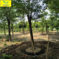 5公分国槐价格 6公分7公分8公分国槐基地 园林绿化专用 专业行道树