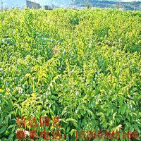 五公分梨树苗品种齐全易成活产量高价格低长期大量批发供应