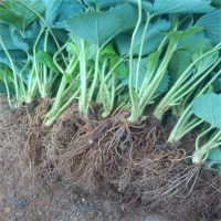 基地直销新品种草莓苗 草莓苗几月份种植