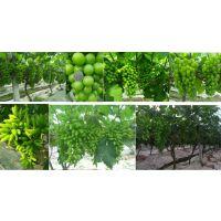不是进口叶面肥河南砂糖橘可用上色肥膨果果树叶面肥高效益园区