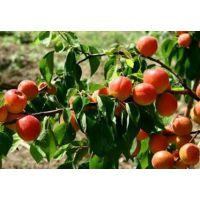 丰园29杏苗新价格 丰园29杏苗品种特点