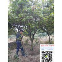 湖南地区地径10公分红枫价格报价1000元每棵红枫小苗多少钱一棵