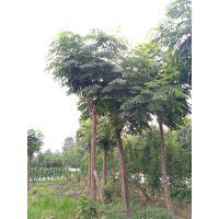 成都崇德园林栾树基地温江栾树直销8-25公分杆直树型好低价格
