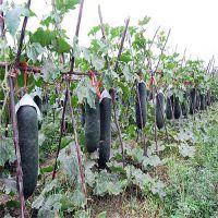 批发进口黑皮大冬瓜种子 基地专用 大冬瓜种子 迷你一串玲小冬瓜种子