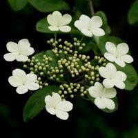 批发销售扬州琼花 庭院风景绿化树 彩色花卉 花大花多 欢迎来电