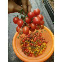 福建番茄管理的几个误区,番茄大棚信息咨询,芳诚温室