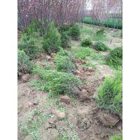 哪里有1米高的蜀桧出售 批发河南桧北京桧价格低廉 山东绿化苗种植基地