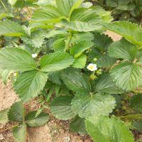 红颜草莓苗 一亩地种植多少草莓苗 一代草莓苗价格